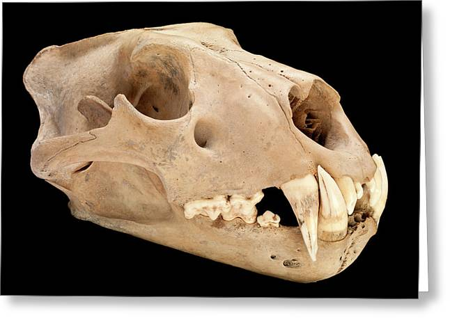Barbary Lion Skull Greeting Card by Natural History Museum, London