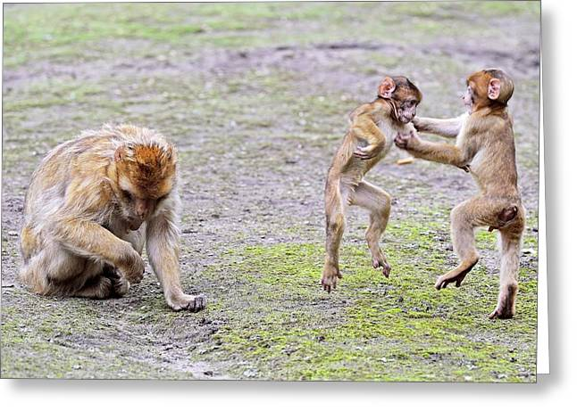 Barbary Macaques Greeting Card by Bildagentur-online/mcphoto-schulz