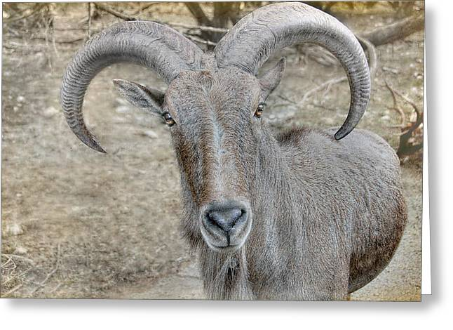 Greeting Card featuring the photograph Barbary Sheep by Dyle   Warren