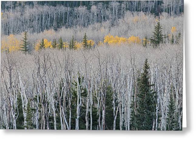 Bare Quaking Aspens And A Few Engelmann Greeting Card by Panoramic Images