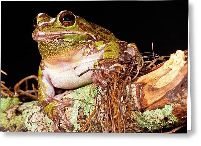 Barking Treefrog Hyla Gratiosa Native Greeting Card by David Northcott