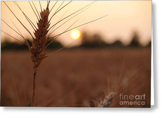 Barley Catches The Setting Sun In Autumn - Pennsylvania Greeting Card by Anna Lisa Yoder