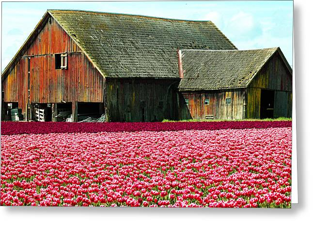 Barn And Tulips Greeting Card by Annie Pflueger