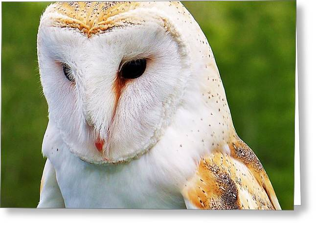 Barn Owl... Greeting Card