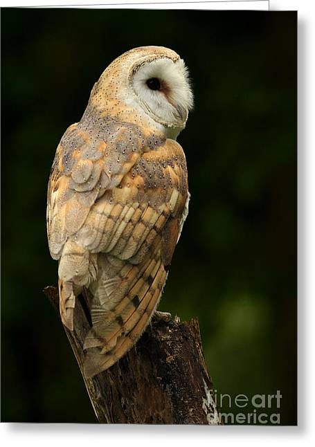 Barn Owl At Twilight Greeting Card by Inspired Nature Photography Fine Art Photography