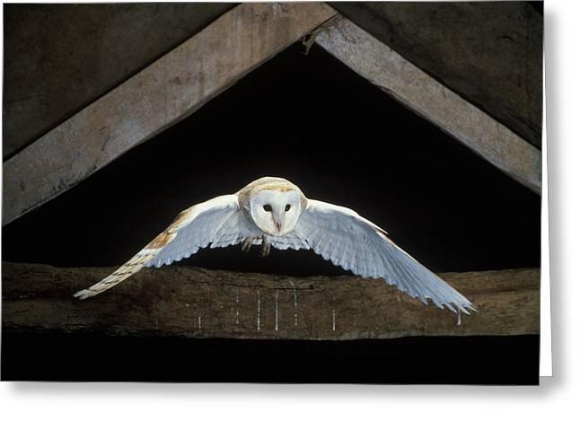 night birds burnt sienna brown birds of prey Barn Owl Single A5 Blank or Personalised Card coffee print bird in flight