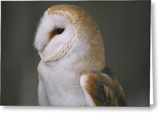Greeting Card featuring the photograph Barn Owl by David Porteus