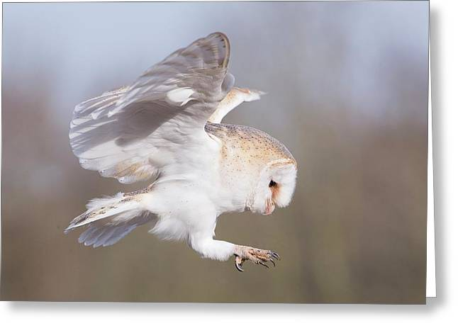 Barn Owl In Flight Before Landing Greeting Card by Linda Wright