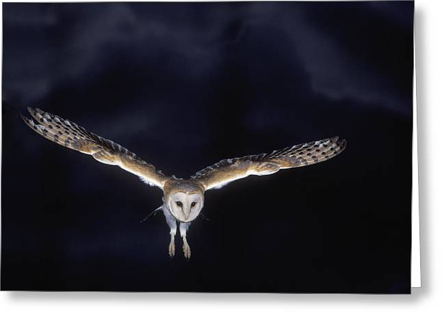 Barn Owl In Flight Greeting Card by Jean-Michel Labat