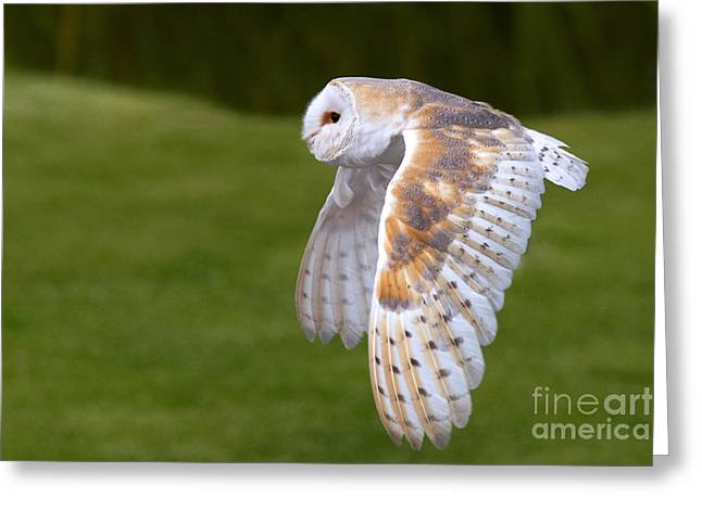 Greeting Card featuring the photograph Barn Owl In Flight by Nick  Biemans