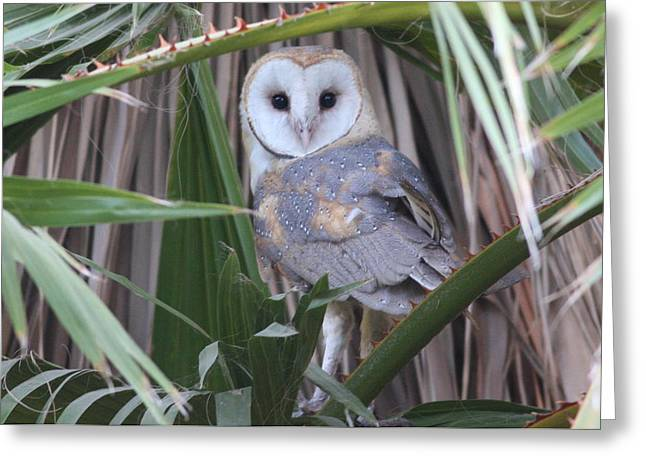 Barn Owl Greeting Card by Joe Sweeney