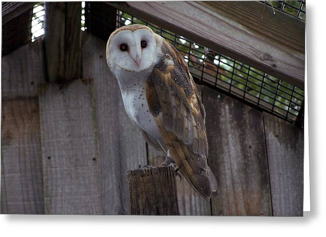 Greeting Card featuring the photograph Barn Owl by Michele Kaiser