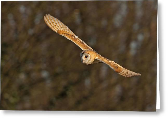 Greeting Card featuring the photograph Barn Owl   by Paul Scoullar