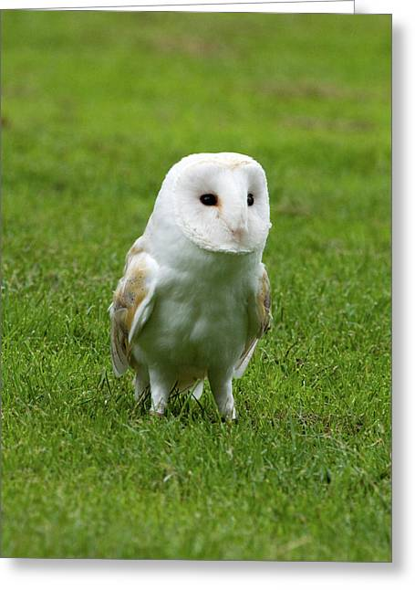 Barn Owl Greeting Card by Phil Stone