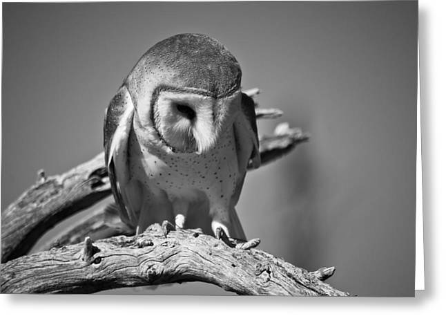 Barn Owl Thoughts  Greeting Card by Swift Family