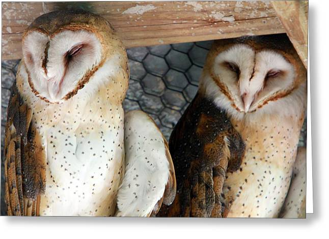 Barn Owls Greeting Card by David Yunker