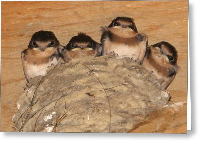 Barn Swallow Chicks 2 Greeting Card by Conni Schaftenaar