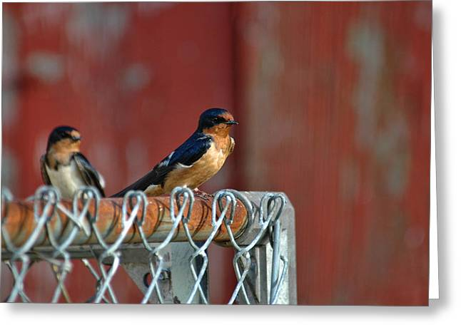 Greeting Card featuring the photograph Barn Swallow by David Armstrong