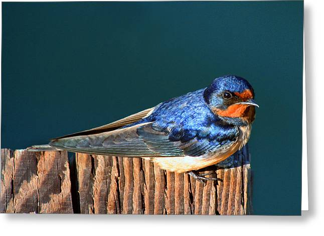 Greeting Card featuring the photograph Barn Swallow Perching by Bob and Jan Shriner