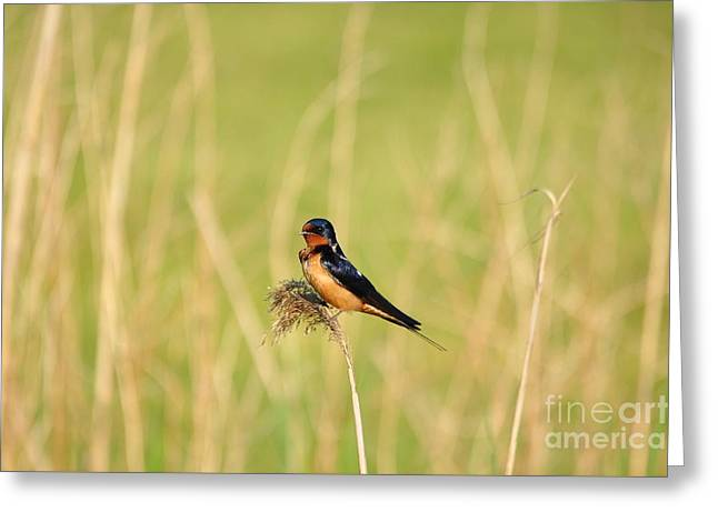 Barn Swallow Greeting Card by Suzanne Handel
