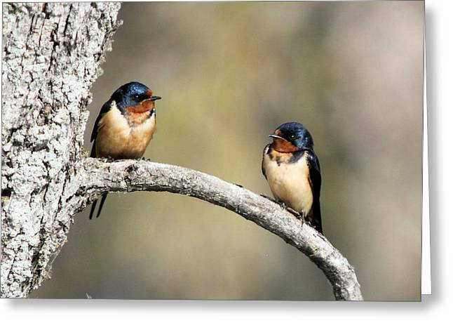 Barn Swallows Greeting Card