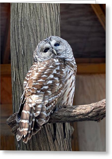 Barred Owl 264 Greeting Card by Joyce StJames