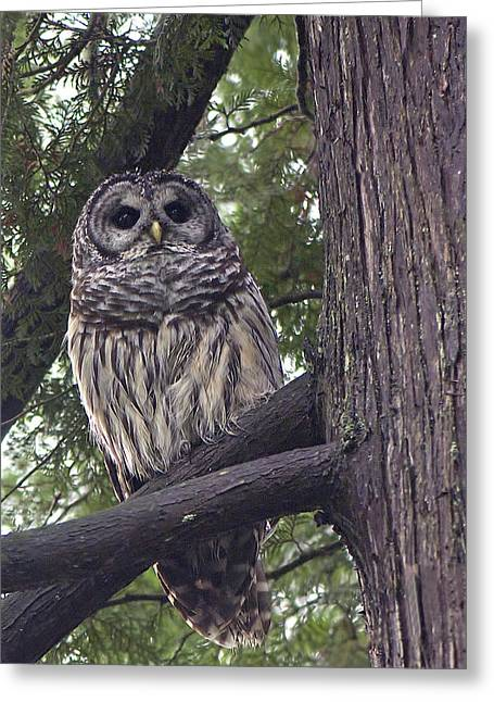 Barred Owl 2a Greeting Card by Sharon Talson
