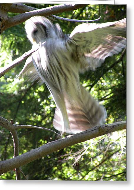 Barred Owl Angelic Liftoff Greeting Card