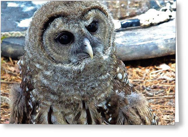 Greeting Card featuring the photograph Barred Owl by Constantine Gregory