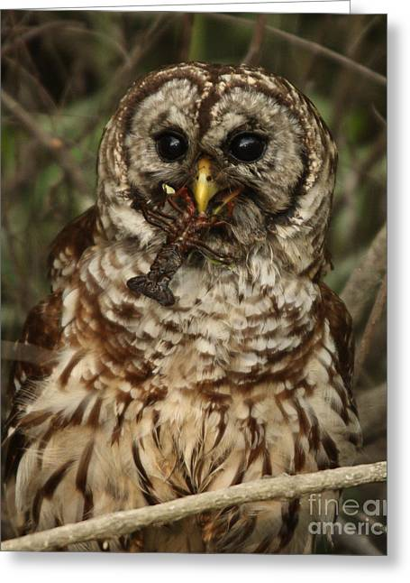 Barred Owl Eating Crawfish Greeting Card by Kelly Morvant