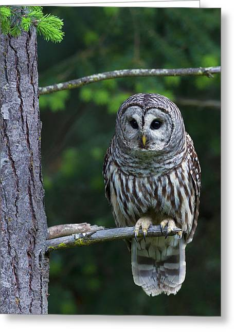 Barred Owl, Hunting At Dusk Greeting Card by Ken Archer