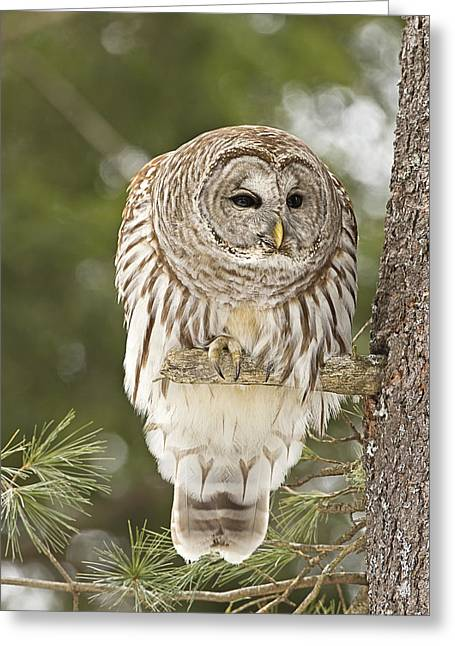 Barred Owl Hunting Greeting Card