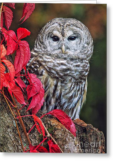 Barred Owl II Greeting Card by Todd Bielby