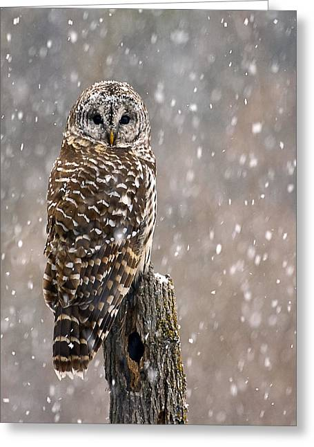 Barred Owl In A New England Snow Storm Greeting Card