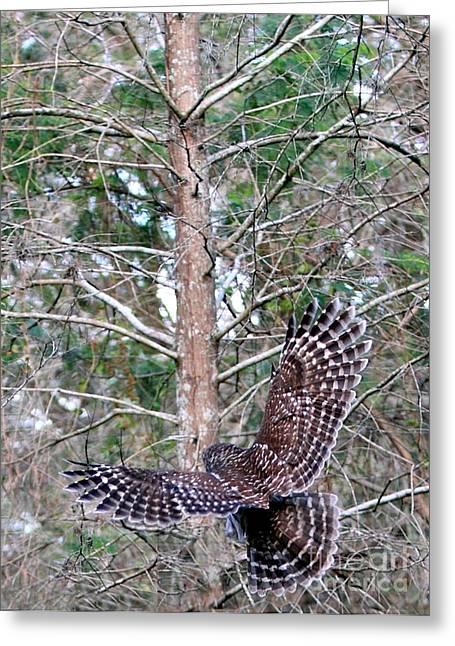 Barred Owl In Flight 2 Greeting Card by Randy Matthews