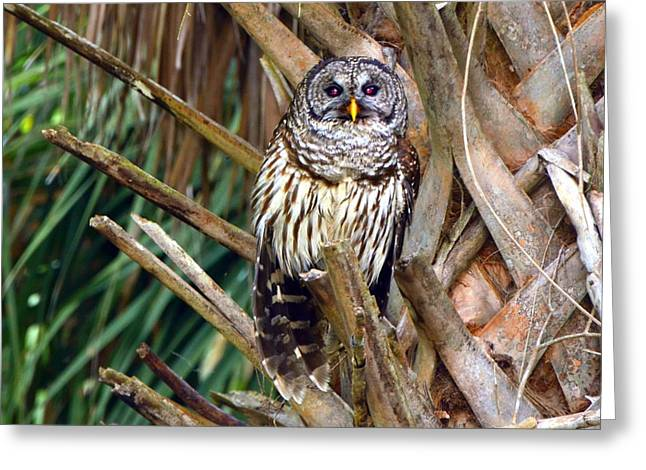 Barred Owl In Palm Tree Greeting Card by Jodi Terracina