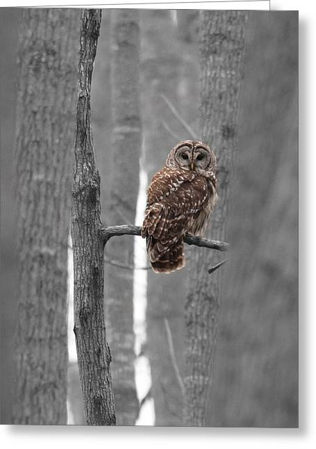 Barred Owl In Winter Woods #1 Greeting Card by Paul Rebmann