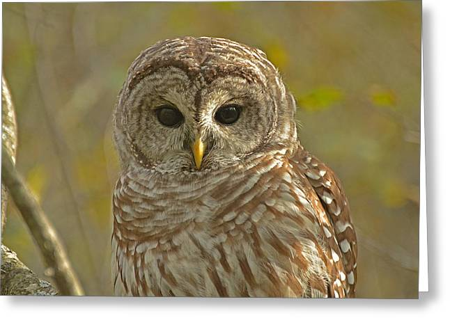 Barred Owl Looking At You Greeting Card
