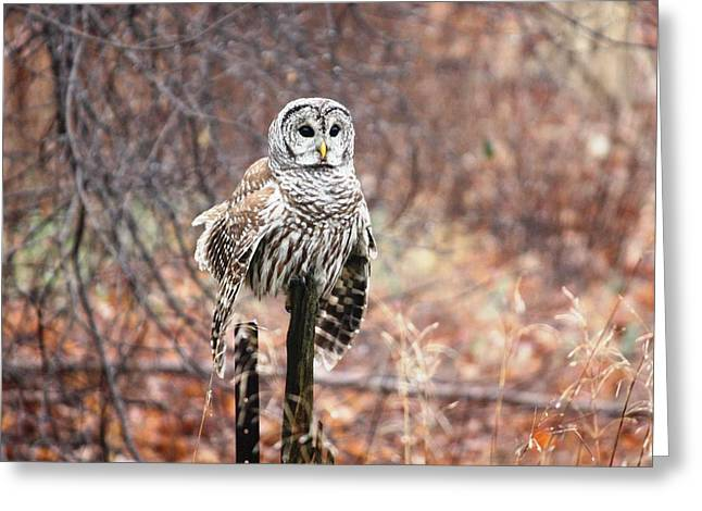 Barred Owl Greeting Card by Pat Purdy