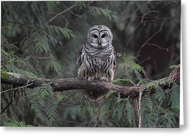Barred Owl Stare Down Greeting Card