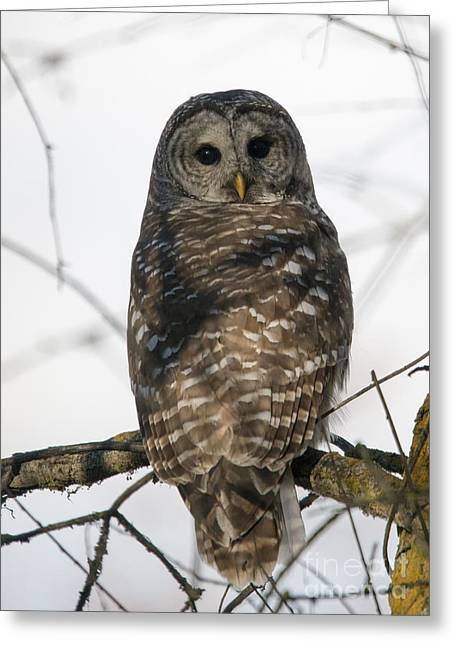 Barred Owl Stare Greeting Card by Mike Dawson