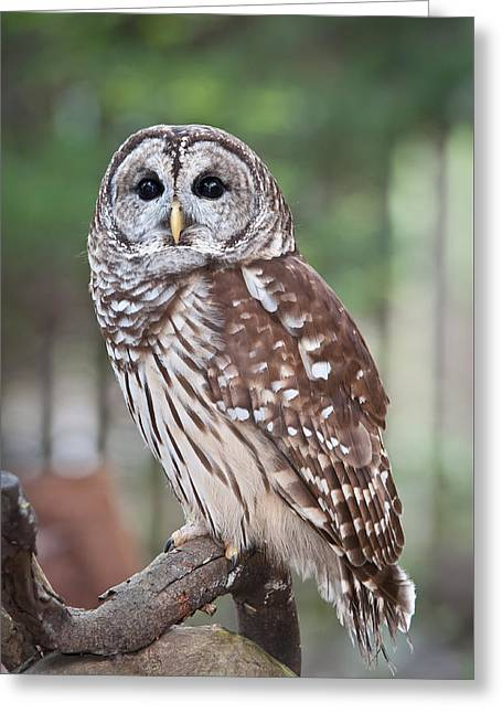 Greeting Card featuring the photograph Barred Owl by Tyson and Kathy Smith
