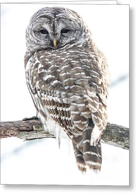 Barred Owl2 Greeting Card