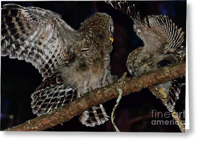 Barred Owls Spar At Night Greeting Card by Wayne Nielsen