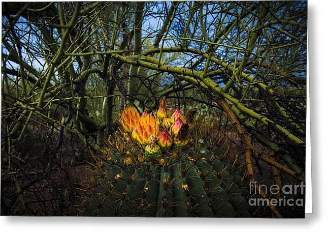 Barrel Cactus In Bloom 3 Greeting Card by Richard Mason