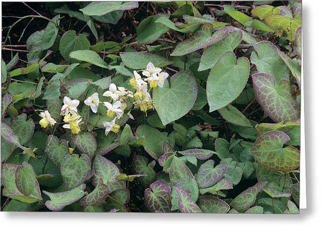 Barrenwort (epimedium X Versicolor) Greeting Card by Sally Mccrae Kuyper/science Photo Library