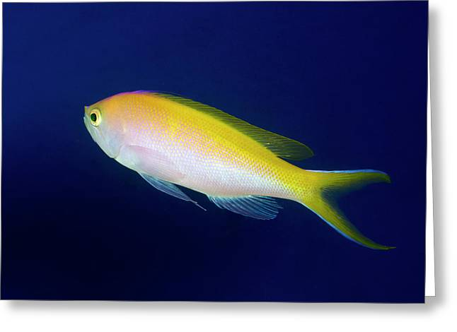 Bartlett's Anthias Greeting Card