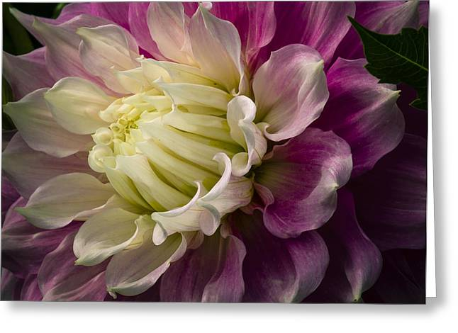 Bashful Dahlia Greeting Card