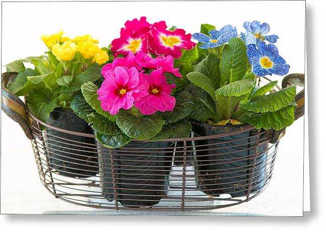 Basket Of Primroses Greeting Card