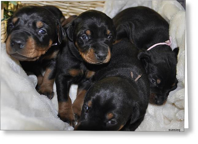 Basket Of Puppies Greeting Card by Sue Rosen